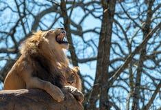 Δόντια Bares λιονταριών στοκ φωτογραφίες με δικαίωμα ελεύθερης χρήσης