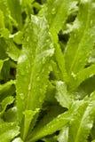 δόντι πριονιού foetidum eryngium κορίανδ&rh Στοκ Εικόνες