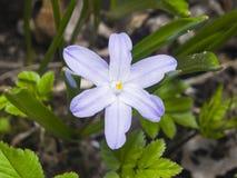Δόξα--ο-χιόνι Lucile ` s, luciliae chionodoxa, που ανθίζει την άνοιξη, μακρο, ρηχό DOF, εκλεκτική εστίαση Στοκ Εικόνα
