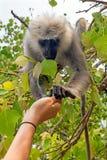 Δόσιμο των τροφίμων σε έναν πίθηκο στο δάσος στην Ινδία Στοκ Εικόνα