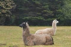 Δύο άγρυπνα llamas που βρίσκονται σε έναν τομέα στις αντίθετες κατευθύνσεις με το δάσος πίσω από τους - εκλεκτική εστίαση στοκ εικόνες