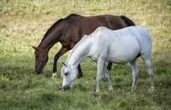 Δύο άλογα άσπρα και καφετιά πηγαίνουν έξω στοκ εικόνες