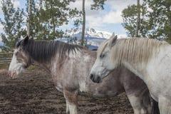 Δύο άλογα αγροκτημάτων του Ουαϊόμινγκ συγκεντρώνουν μέσα Στοκ φωτογραφία με δικαίωμα ελεύθερης χρήσης