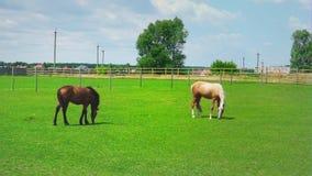Δύο άλογα βόσκουν στην πράσινη χλόη στη μάντρα Άλογα στο λιβάδι την ηλιόλουστη ημέρα απόθεμα βίντεο