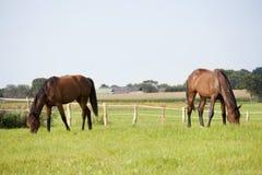 Δύο άλογα βόσκουν στο λιβάδι στοκ φωτογραφία