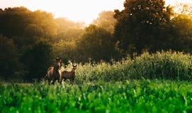Δύο άλογα που βόσκουν σε ένα λιβάδι με την περίφραξη Στοκ φωτογραφίες με δικαίωμα ελεύθερης χρήσης