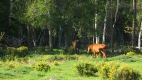 Δύο άλογα που οργανώνονται στο ξύλο απόθεμα βίντεο