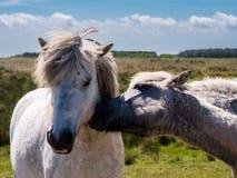 Δύο άλογα στους αμμόλοφους Ameland, Ολλανδία Στοκ φωτογραφίες με δικαίωμα ελεύθερης χρήσης
