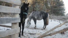 Δύο άλογα τρώνε το σανό απόθεμα βίντεο