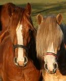 Δύο άλογα Στοκ φωτογραφίες με δικαίωμα ελεύθερης χρήσης