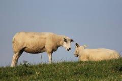 Δύο άνετα πρόβατα σε ένα ανάχωμα με την πράσινη χλόη το καλοκαίρι Στοκ Εικόνες