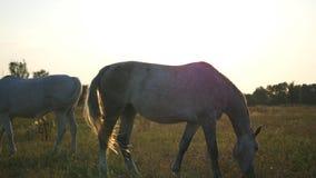 Δύο άσπρα άλογα που βόσκουν στο λιβάδι στην ανατολή Τα άλογα τρώνε την πράσινη χλόη στον τομέα κλείστε επάνω απόθεμα βίντεο