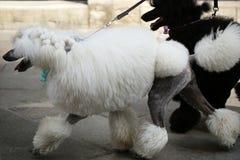 Δύο άσπρα και μαύρα poodles Στοκ φωτογραφία με δικαίωμα ελεύθερης χρήσης