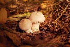 Δύο άσπρα μανιτάρια με τα σπυράκια αυξάνονται στο δάσος Στοκ Εικόνες