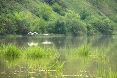 Δύο άσπρα πουλιά πετούν πέρα από τη διαφανή επιφάνεια της λίμνης μια θερινή ημέρα στοκ εικόνες