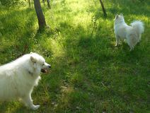 Δύο άσπρα σκυλιά στο θερινό πάρκο Στοκ φωτογραφία με δικαίωμα ελεύθερης χρήσης