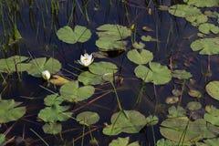 Δύο άσπρα waterlilies στο σκοτεινό νερό έλους με τους καλάμους και τα μαξιλάρια κρίνων στοκ φωτογραφίες με δικαίωμα ελεύθερης χρήσης