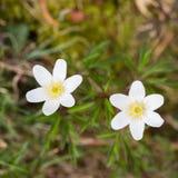 Δύο άσπρες ανθίσεις το nemorosa anemone λουλουδιών Στοκ φωτογραφίες με δικαίωμα ελεύθερης χρήσης