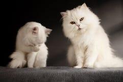 Δύο άσπρες γάτες Στοκ Φωτογραφία