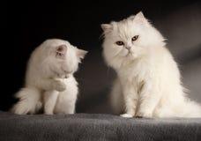 Δύο άσπρες γάτες Στοκ Εικόνα