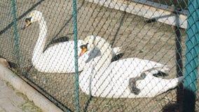Δύο άσπροι κύκνοι που στηρίζονται στην αυλή Ένας από τους καθαρίζει το φτερό του απόθεμα βίντεο