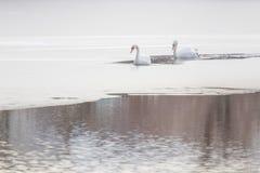 Δύο άσπροι κύκνοι στην παγωμένη λίμνη Παγωμένη χειμώνας λίμνη στοκ εικόνες