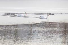 Δύο άσπροι κύκνοι στην παγωμένη λίμνη Παγωμένη χειμώνας λίμνη στοκ φωτογραφία με δικαίωμα ελεύθερης χρήσης