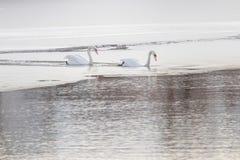 Δύο άσπροι κύκνοι στην παγωμένη λίμνη Παγωμένη χειμώνας λίμνη στοκ φωτογραφία