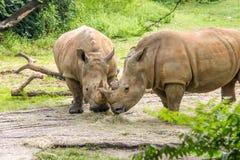 Δύο άσπροι ρινόκεροι που τρώνε από κοινού Στοκ Εικόνες