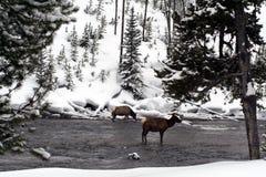 Δύο άλκες αγελάδων σε μια χειμερινή χώρα των θαυμάτων Στοκ Εικόνες