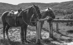 Δύο άλογα έτοιμα για έναν γύρο Στοκ εικόνες με δικαίωμα ελεύθερης χρήσης