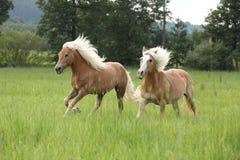 Δύο άλογα κάστανων με τον ξανθό Μάιν που τρέχει στη φύση Στοκ εικόνα με δικαίωμα ελεύθερης χρήσης