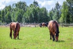 Δύο άλογα κάστανων που βόσκουν στον τομέα το καλοκαίρι Στοκ Φωτογραφίες