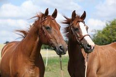 Δύο άλογα κάστανων που στέκονται από κοινού Στοκ εικόνα με δικαίωμα ελεύθερης χρήσης