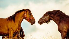 Δύο άλογα που παίζουν από κοινού Στοκ Φωτογραφίες