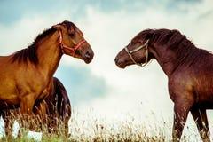 Δύο άλογα που παίζουν από κοινού Στοκ φωτογραφία με δικαίωμα ελεύθερης χρήσης