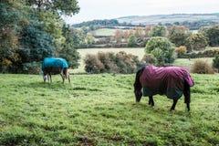 Δύο άλογα που τρώνε τη χλόη στον τομέα, Αγγλία Στοκ Φωτογραφίες