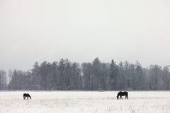 Δύο άλογα σε έναν χιονώδη τομέα Στοκ Φωτογραφία
