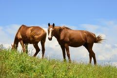 Δύο άλογα στο Marche Στοκ εικόνα με δικαίωμα ελεύθερης χρήσης