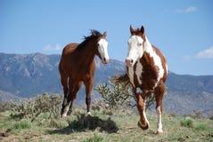 Δύο άλογα χρωμάτων που τρέχουν στα βουνά με τον κάκτο Στοκ Φωτογραφίες