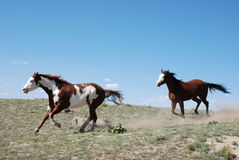 Δύο άλογα χρωμάτων στον πλήρη καλπασμό με τη σκόνη Στοκ φωτογραφίες με δικαίωμα ελεύθερης χρήσης