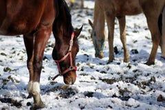Δύο άλογα ψάχνουν τα τρόφιμα τροφίμων Στοκ φωτογραφίες με δικαίωμα ελεύθερης χρήσης