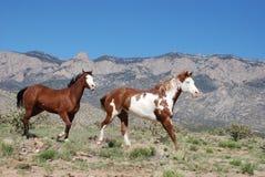 Δύο άλογα Trotting χρωμάτων προς το δικαίωμα μπροστά από το βουνό Sandia Στοκ φωτογραφία με δικαίωμα ελεύθερης χρήσης