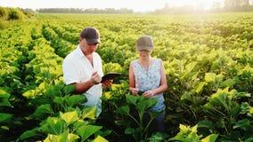 Δύο ένας αγρότης-άνδρας και μια γυναίκα που περπατούν κατά μήκος του πράσινου τομέα ενός ηλίανθου, επικοινωνούν Σε χρήση εργασίας απόθεμα βίντεο