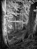 Δύο δέντρα οξιών στα ξύλα φωλιών κοράκων στοκ εικόνα με δικαίωμα ελεύθερης χρήσης