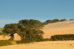 Δύο δέντρα σε έναν τομέα καλαμποκιού Στοκ φωτογραφία με δικαίωμα ελεύθερης χρήσης