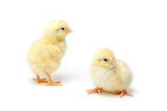 Δύο λίγο κοτόπουλο που απομονώνεται στο άσπρο υπόβαθρο Στοκ εικόνα με δικαίωμα ελεύθερης χρήσης