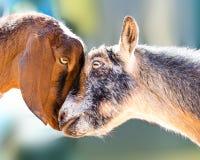Δύο αίγες που παρουσιάζουν αγάπη Στοκ Εικόνα