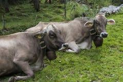 Δύο αγελάδες με τα κουδούνια σε Appenzell Στοκ Εικόνα