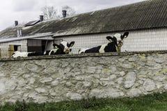 Δύο αγελάδες, με τις κίτρινες ετικέττες προσδιορισμού στα αυτιά τους, ποια στάση πίσω από έναν τοίχο πετρών Στοκ φωτογραφία με δικαίωμα ελεύθερης χρήσης